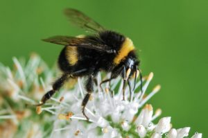 Bumblebees and the Rural Community